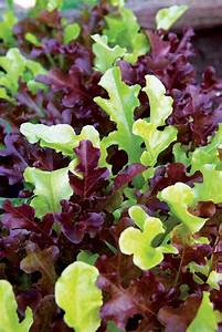 Great Lettuce Growing Tips - Organic Gardening - MOTHER ...