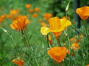 Garten Mohn Sorten : sommerblumen helfen ihnen einen garten voller farben zu ~ Michelbontemps.com Haus und Dekorationen