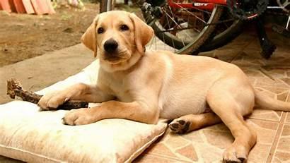 Labrador Yellow
