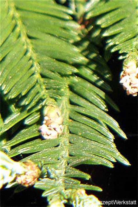 stihl baumlexikon kuesten mammutbaum redwood