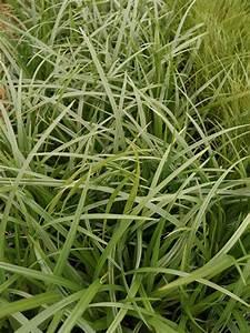 Gräser Winterhart Immergrün : segge pflanze pflanzen f r nassen boden ~ Michelbontemps.com Haus und Dekorationen