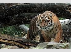 Wallpaper Sumatran tiger, Wild tiger, 4K, Animals, #5961