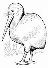 Kiwi Bird Coloring Pages Print Animal sketch template