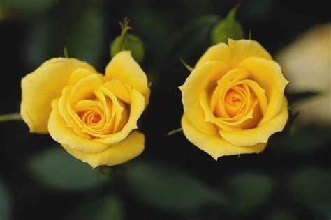 yellow flowers wallpapers hd pictures  hd wallpaper