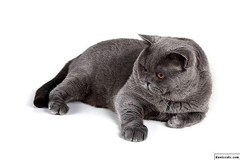 🐈 Britu kaķu ēdiens - ēdiena īpašības