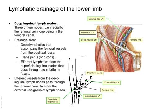 Groin Diagram Cow by Enlarged Inguinal Lymph Nodes Johny Fit