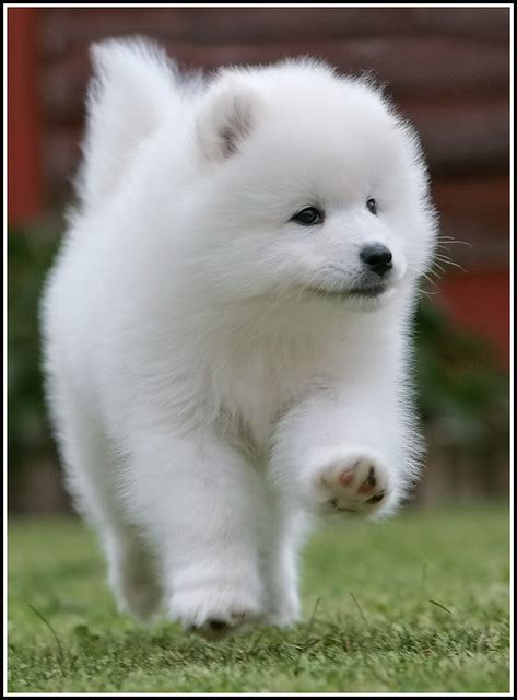 Samoyed Puppy 1 Photo By Alan Seymour Alan Seymour