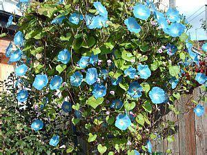 grow morning glories  seeds garden guides