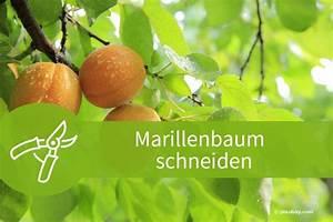 Wann Schneidet Man Apfelbäume : marillenbaum schneiden anleitungen f r winter und sommer ~ Lizthompson.info Haus und Dekorationen