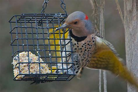 woodpeckers of western new york oakmoss education