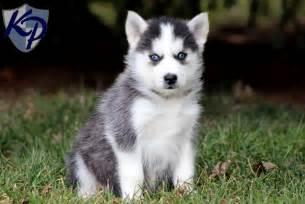 Husky Chihuahua Mix Puppies