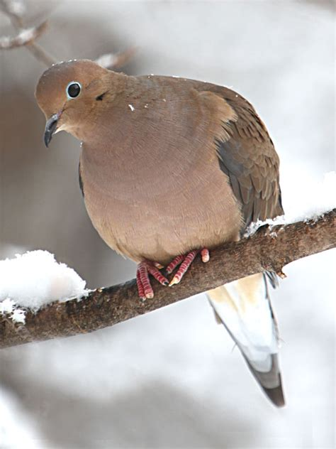 mourning dove diet naturally curious with mary holland