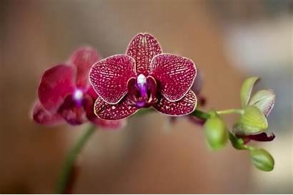Orchid Wallpapers Wallpaperxyz Flowers