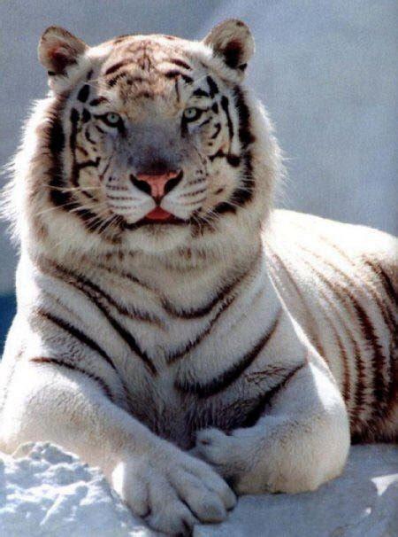 White Siberian Tiger  Home  Facebook