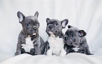 Bulldog French Wallpapers Puppies Desktop Bulldogs Dogs