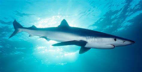 datos sobre el tiburon azul imagenes  fotos