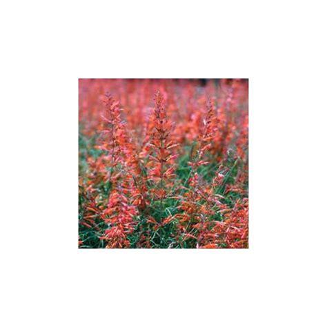 agastache cuisine agastache rupestris vivace aromatique rustique à fleur
