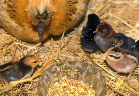 le chauffante pour poussin nourrir des poussins conseils pour leur alimentation