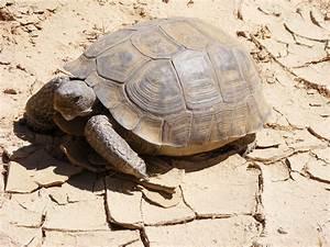 Desert Tortoise Facts Habitat Diet Life Cycle Baby