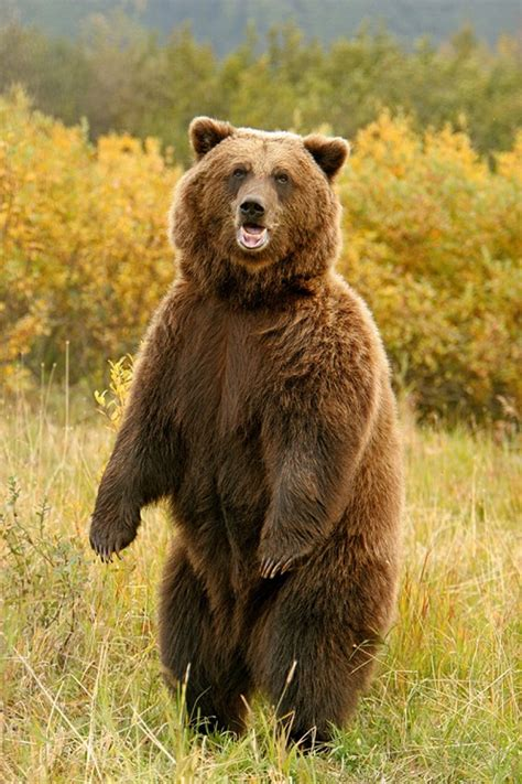 Interesting Facts About Kodiak Bears  Just Fun Facts