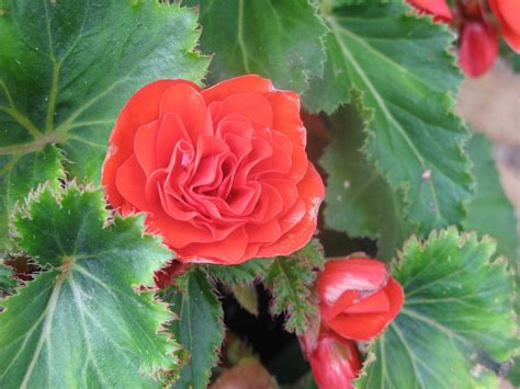 Overwintering A Begonia In Cold Climates