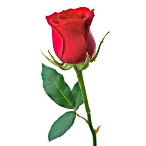 Testo Con Una Rosa by Una Rosa Roja Para La Ofrenda A La Virgen Pilar