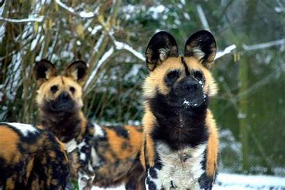 Zoo Dublin Animals Snow Dogs Painted African