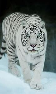 White Tiger In Snow, HD Animals, 4k Wallpapers, Images ...