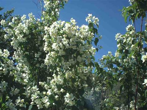 a tree with white flowers dietrich idaho white tree flowers
