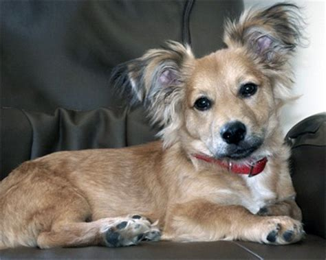 unreal corgi dog cross breeds youve
