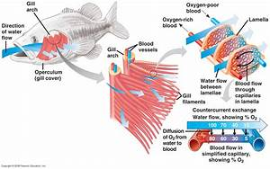 How Do The Gills Of A Fish Work    Askscience