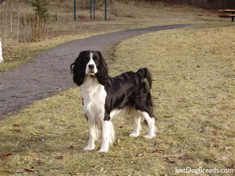 Springer Spaniel Shed by Low Shedding Large Breed Dogs Breeds Picture