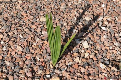 Jardin Mexicain Valleroy 54 by Le Forum Des Fous De Palmiers 30 Mon Jardin Mexicain