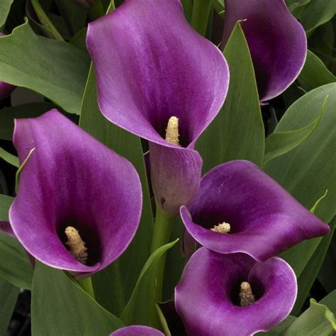 purple calla 447 best krāsainās kallas images on pinterest calla lily calla lillies and flower gardening