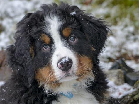 Bernese Mountain Dog Breed Information Training Temperament Personality Platpets Training