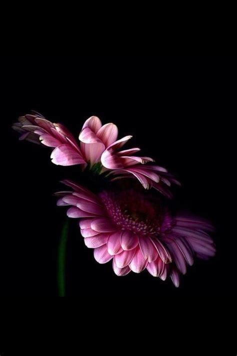 Flower Iphone Black Background Wallpaper by Pink Wallpaper For Iphone Wallpapersafari