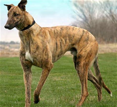 greyhound adoption league  texas