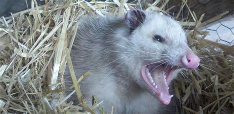 Possum Backyard by That Drooling Hissing Daytime Opossum You Thought Had