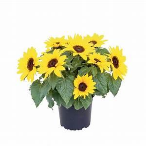 Sonnenblume Im Topf : sonnenblume im topf 13 cm kaufen bei obi ~ Orissabook.com Haus und Dekorationen