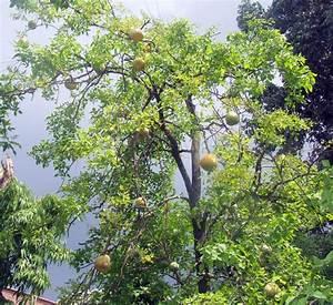AMBROSIA: Bael Sherbet - Wood apple Summer Cooler