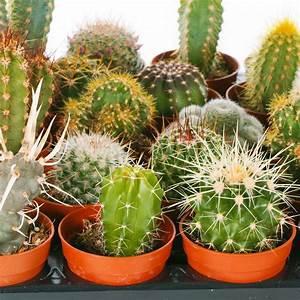 Cactus, Mix, -, 5, Plants, -, House, Office, Live, Indoor, Pot, Plant