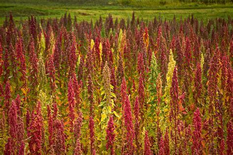 Kvinoja - pseidolabība no balandu dzimtas | Laukos.lv
