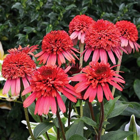 zone 4 flowers 337 best images about perennials for zone 4 on pinterest