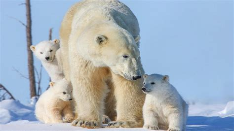 polar bear family  small cubs desktop wallpaper hd