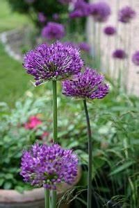 Allium Pflanzen Im Frühjahr : gartengestaltung mit stauden stauden im garten ~ Yasmunasinghe.com Haus und Dekorationen