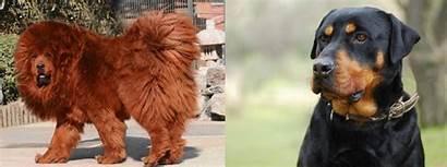 Mastiff Rottweiler Himalayan Vs India