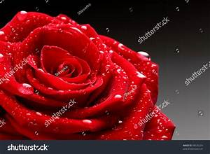 Red Rose Water Drop Stock Photo 98526224 - Shutterstock