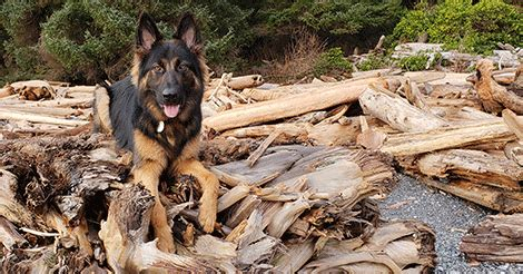 german shepherd diagnosed  growing pains embrace