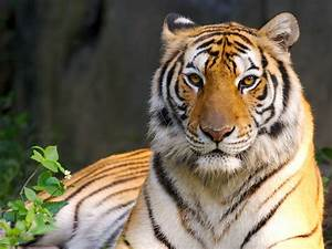 The Bengal tiger is the national animal of both India and ...
