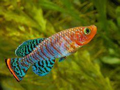 rummynose rasbora freshwater fish pinterest